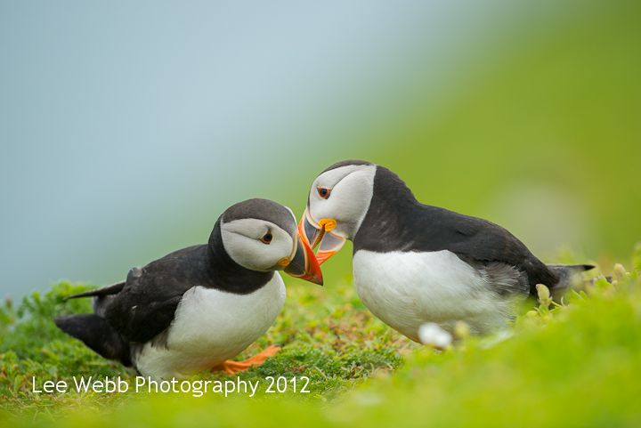 Puffin pair on Skomer